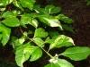 callicarpa-americana-berries-n-cream