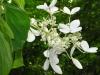 hydrangea-paniculata-the-swan