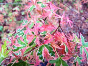 Acer Palmatum Searle