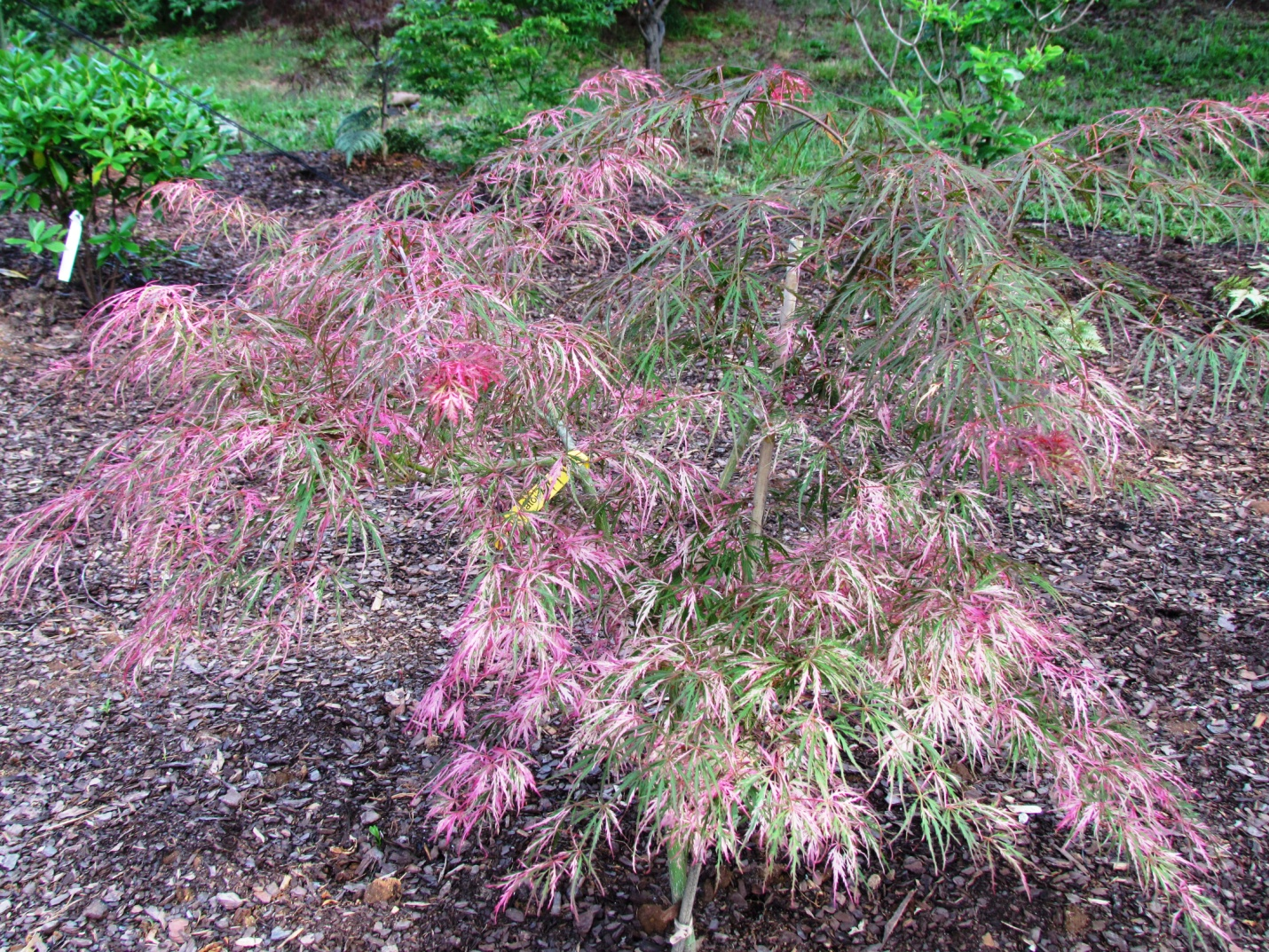 Variegated plants part 1 hardy plant society of new england for Acer palmatum
