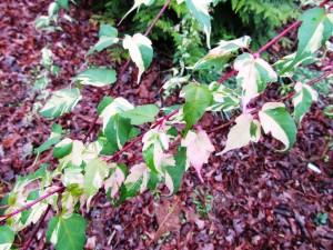 Acrer crataegifolium