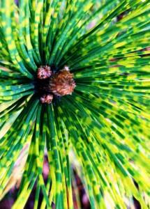 Pinus thunbergii Torabu